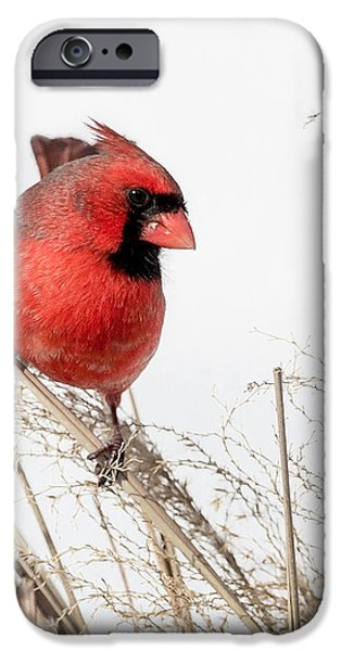 Common Northern Cardinal Square iPhone Case by Bill  Wakeley