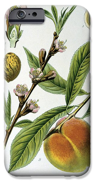19th Century Drawings iPhone Cases - Common Peace Persica Vulgaris iPhone Case by Anonymous