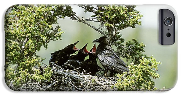 Feeds Chicks iPhone Cases - Common Raven Feeding Young In Nest iPhone Case by William H. Mullins