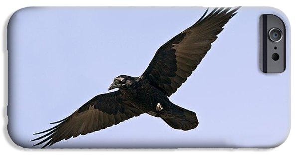 Us Wildllife iPhone Cases - Common Raven iPhone Case by Jim Zipp