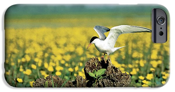 Hirundo iPhone Cases - Common Tern At Nest With Egg iPhone Case by Stevan Stefanovic/Okapia