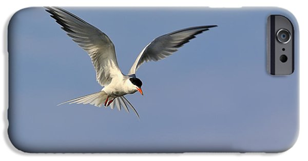 Hirundo iPhone Cases - Common Tern Hovering iPhone Case by Tony Beck
