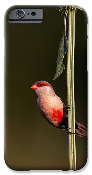 One iPhone Cases - Common waxbill iPhone Case by Johan Swanepoel