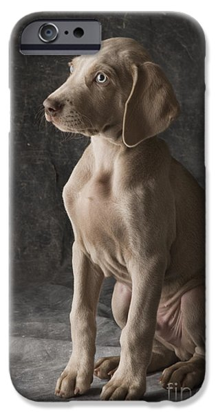Weimaraners iPhone Cases - Cooper iPhone Case by Dan Jurak