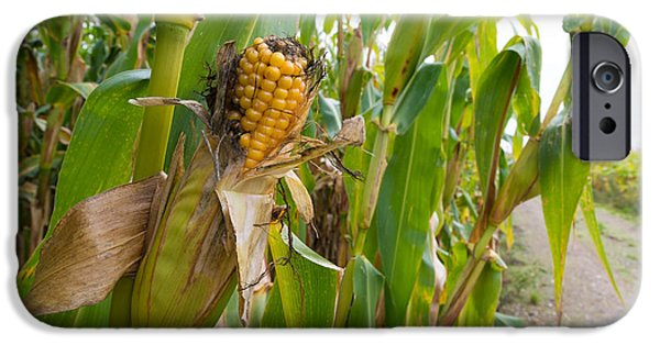 Sweet Corn Farm iPhone Cases - Corn Cob iPhone Case by Hans Engbers