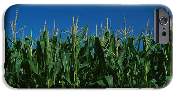 Crops iPhone Cases - Corn Crop In A Field, New York State iPhone Case by Panoramic Images
