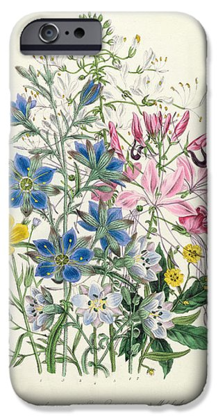Victorian Drawings iPhone Cases - Cornflower iPhone Case by Jane Loudon