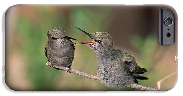 Feeds Chicks iPhone Cases - Costas Hummingbird Feeding Young iPhone Case by Anthony Mercieca