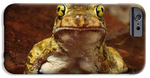 Anuran iPhone Cases - Couchs Spadefoot Toad iPhone Case by C K Lorenz