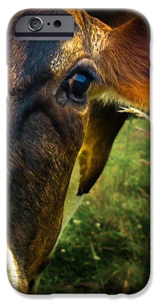 Maine iPhone Cases - Cow eating grass iPhone Case by Bob Orsillo