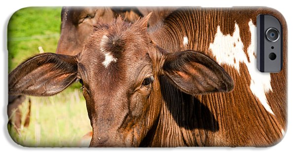 Four Animal Faces iPhone Cases - Cow in a field iPhone Case by Celso Diniz