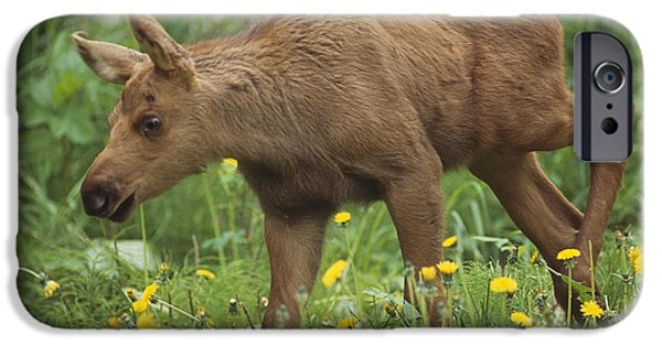 Innocence iPhone Cases - Cow Moose & Calf Together In Anchorage iPhone Case by Doug Lindstrand