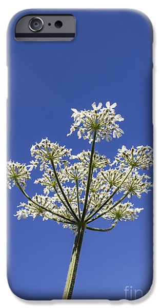 Keck iPhone Cases - Cow Parsley iPhone Case by Brian Roscorla