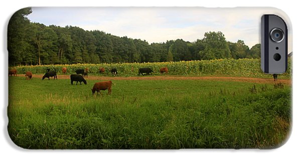 Buttonwood Farm iPhone Cases - Cows at Buttonwood iPhone Case by Dorothy Drobney