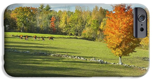 New England Dairy Farms iPhone Cases - Cows Grazing on Maine Farm Field in Fall  iPhone Case by Keith Webber Jr