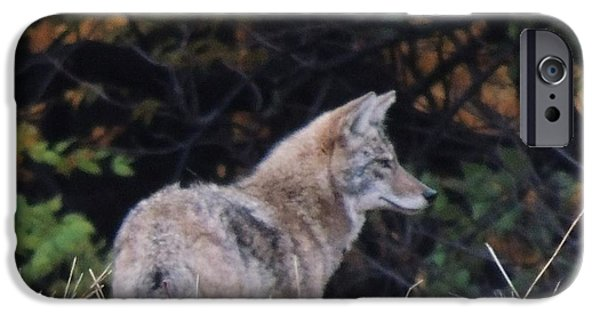 Todd Sherlock Photographs iPhone Cases - Coyote Number Five iPhone Case by Todd Sherlock