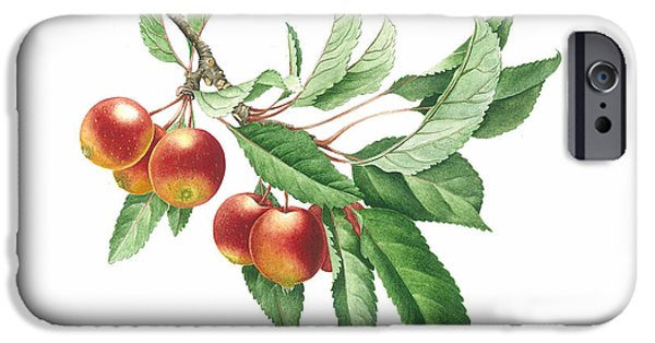 Fruit Tree Paintings iPhone Cases - Crab Apple iPhone Case by Sally Crosthwaite