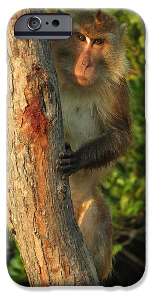Mangrove Forest iPhone Cases - Crab Eating Macaque iPhone Case by Ramona Johnston