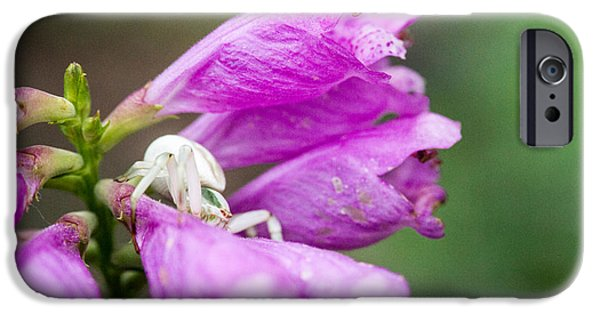 Arachnida iPhone Cases - Crab Spider on Obedient Plant 2 iPhone Case by Douglas Barnett