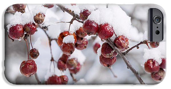 Snowy iPhone Cases - Crab apples on snowy branch iPhone Case by Elena Elisseeva