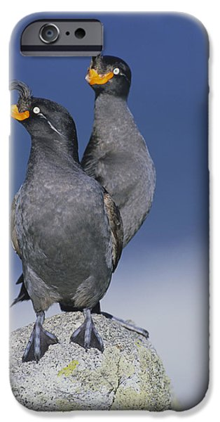 Auklets iPhone Cases - Crested Auklet Pair iPhone Case by Toshiji Fukuda