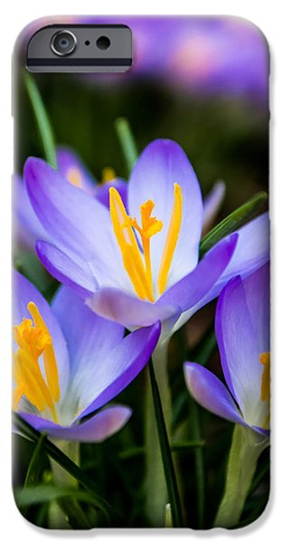 Pleasure iPhone Cases - Crocus in Purple iPhone Case by Shelby  Young