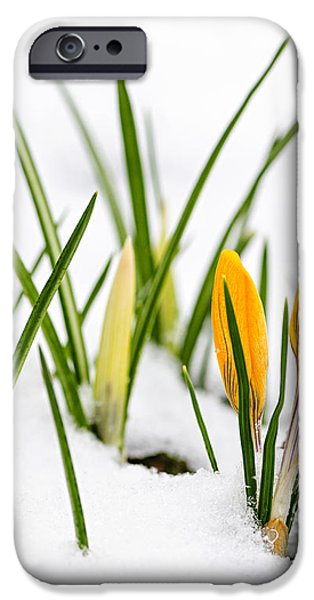 Crocuses in snow iPhone Case by Elena Elisseeva