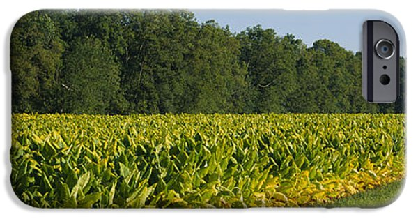 Crops iPhone Cases - Crop Of Tobacco In A Field, Winchester iPhone Case by Panoramic Images