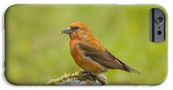 Crossbill iPhone Cases - Crossbill Pose iPhone Case by Cory DeStein