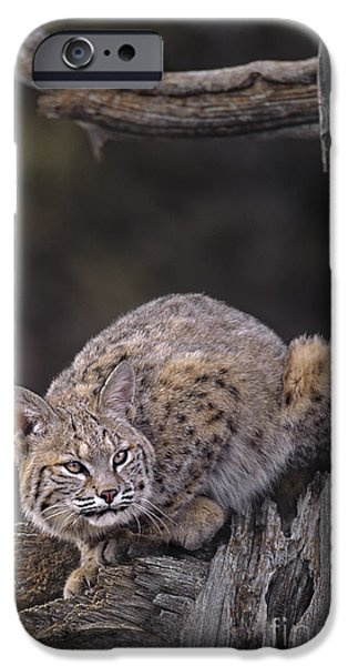 Crouching Bobcat Montana Wildlife iPhone Case by Dave Welling