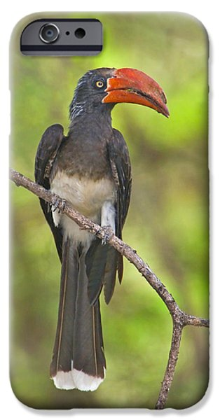 Hornbill iPhone Cases - Crowned Hornbill Perching On A Branch iPhone Case by Panoramic Images