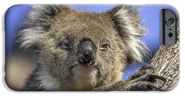 Cute Tree Images iPhone Cases - Cuddly Koala iPhone Case by Ray Warren