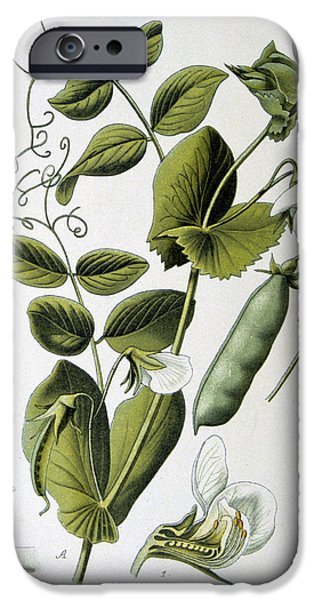 19th Century Drawings iPhone Cases - Culinary Pea Pisum Sativum iPhone Case by Anonymous