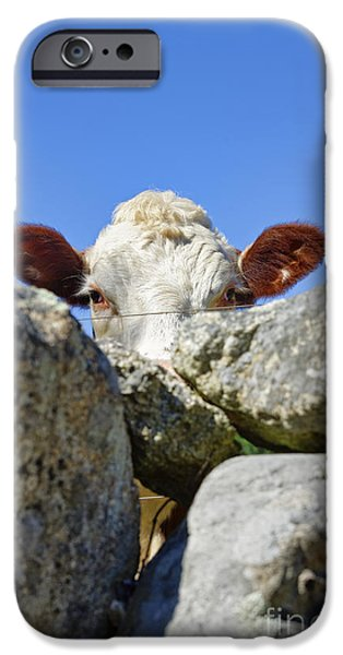 Fieldstone iPhone Cases - Curious Cow iPhone Case by John Greim