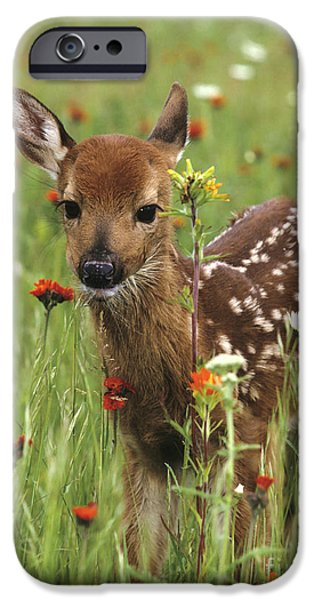 Innocence iPhone Cases - Curious Fawn iPhone Case by Chris Scroggins