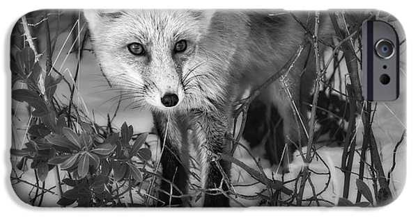 Red Fox iPhone Cases - Curious Red Fox BW iPhone Case by Susan Candelario