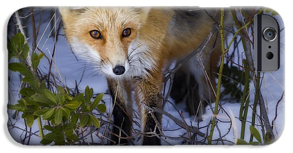 Red Fox iPhone Cases - Curious Red Fox iPhone Case by Susan Candelario