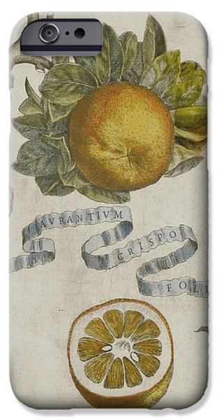 Seventeenth Century iPhone Cases - Curled leaf orange iPhone Case by Cornelis Bloemaert