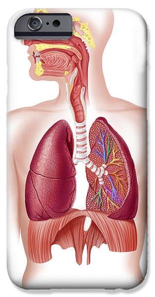 Cutaway Diagram Of Human Respiratory iPhone Case by Leonello Calvetti