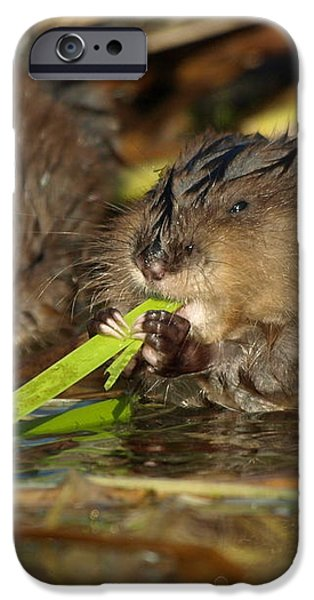 Cutest Water Rats iPhone Case by James Peterson