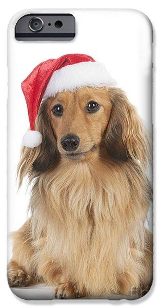Mini Dachshund iPhone Cases - Dachshund In Christmas Hat iPhone Case by John Daniels