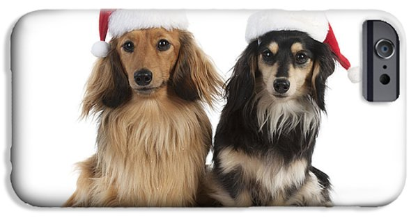 Mini Dachshund iPhone Cases - Dachshunds In Christmas Hats iPhone Case by John Daniels