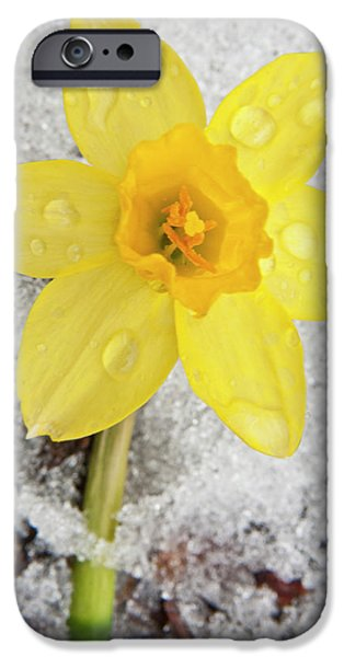 Nature Study iPhone Cases - Daffodil in Spring Snow iPhone Case by Adam Romanowicz