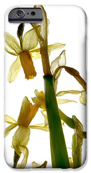 Botanical iPhone Cases - Daffodil iPhone Case by Julia McLemore