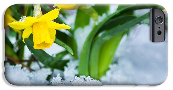 Floral Photographs iPhone Cases - Daffodils in the Snow  iPhone Case by Parker Cunningham