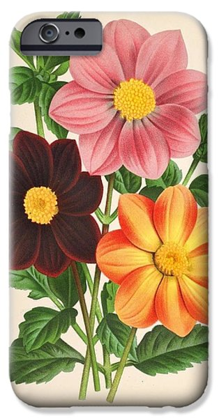 Business Drawings iPhone Cases - Dahlia Coccinea from a Begian book of flora. iPhone Case by Philip Ralley