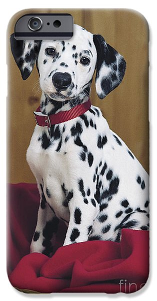 Animals Photos iPhone Cases - Dalmatian in Basket A108 iPhone Case by Greg Cuddiford