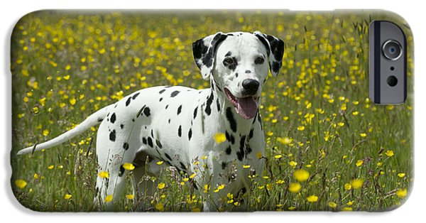 Dog And Wildflowers iPhone Cases - Dalmatian In Buttercups iPhone Case by John Daniels