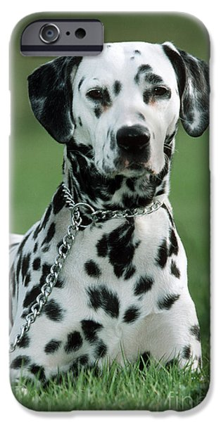 Dog Close-up iPhone Cases - Dalmatian In Grass iPhone Case by Johan De Meester