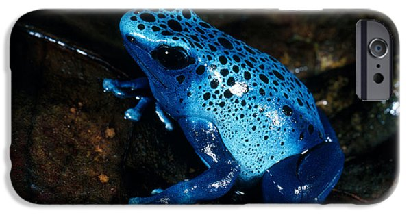 Frogs Photographs iPhone Cases - Dendrobates Azureus From French Guiana iPhone Case by Gregory G. Dimijian